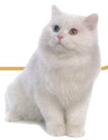 ペルシャ猫の性格.jpg